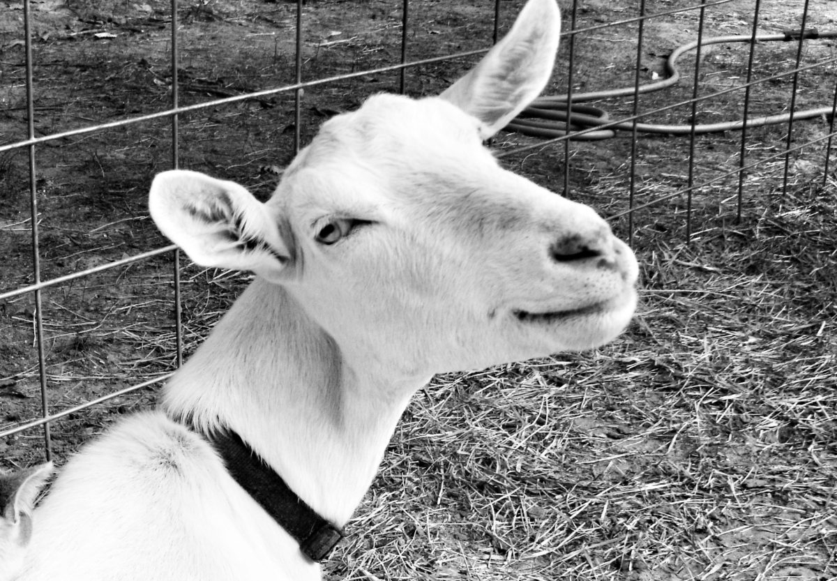 The goat that brought me home.